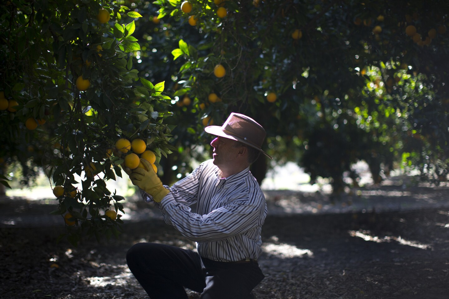 Don Neff checks on oranges at his grove nestled between the 91 Freeway and a housing development in Yorba Linda.