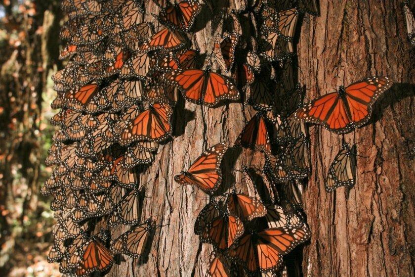 Monarchs cover an Oyamel fir tree in central Mexico.