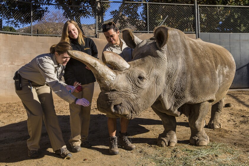 Nola, a northern white rhino, and her keepers at the San Diego Zoo Safari Park.