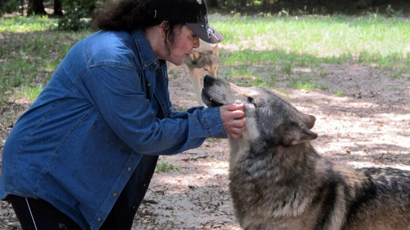 In this July 8, 2014 photo, founder Cynthia Watkins kisses a wolf inside the Seacrest Wolf Preserve in Chipley, Fla. The 450 acre preserve is home to 30 gray, Arctic and British Columbian wolves. It is the largest wolf preserve in the Southeastern United States. The preserve was damaged during heavy rains that flooded the region in April. (AP Photo/Melissa Nelson-Gabriel)