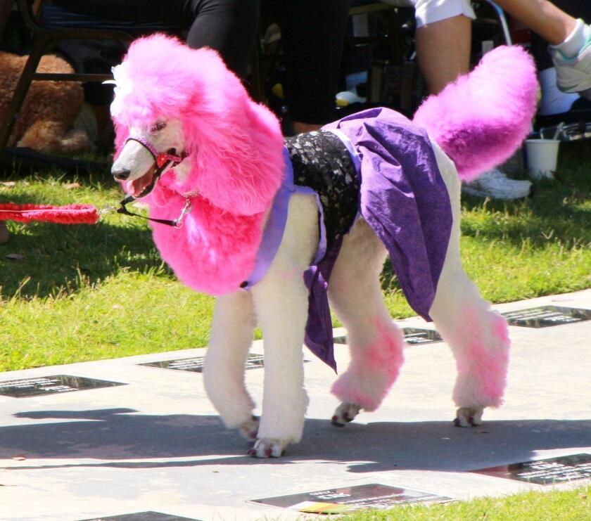 One of the best costume prize winners, Esmerelda, in the 2017 Poodles on Parade.