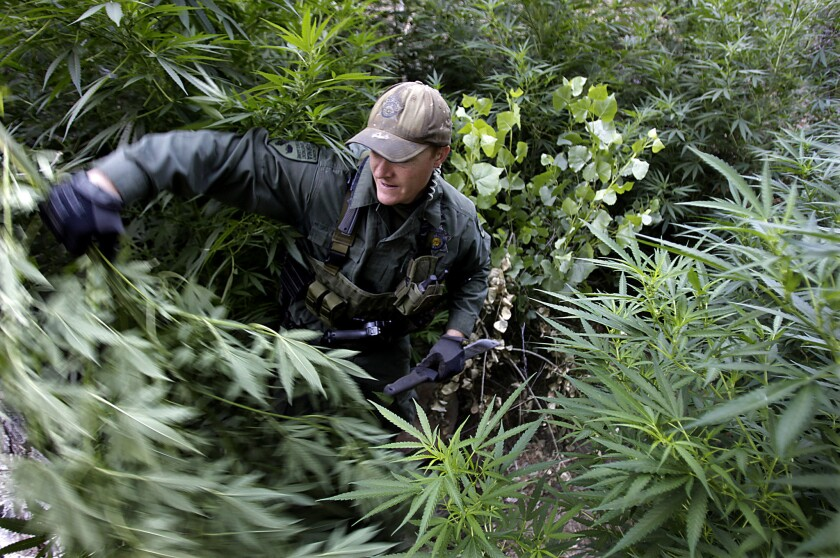 A warden with the California Department of Fish and Game hacks down marijuana plants found growing in a deep ravine in the Sierra Nevada foothills near Kernville.
