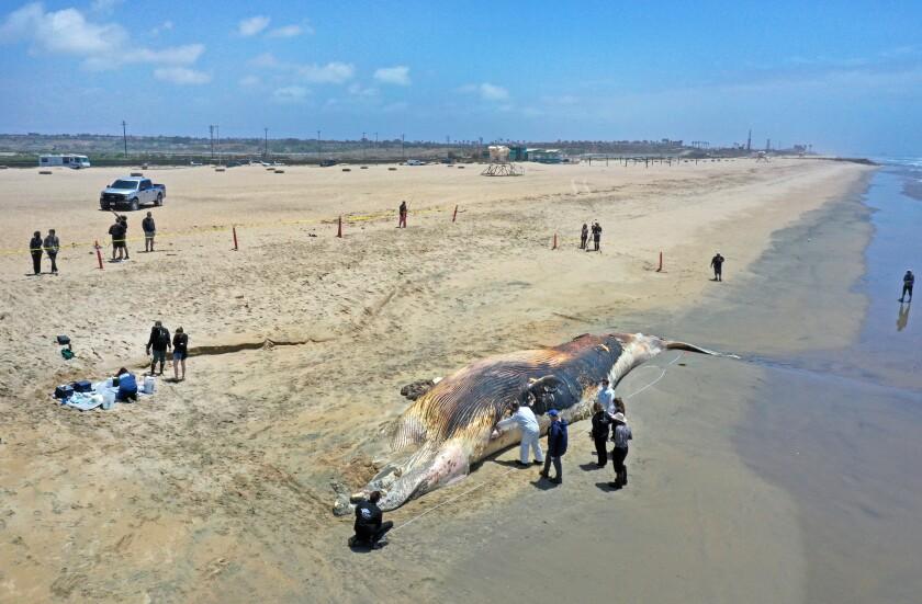 دانشمندان یک نهنگ مرده را در ساحل مورد مطالعه قرار دادند