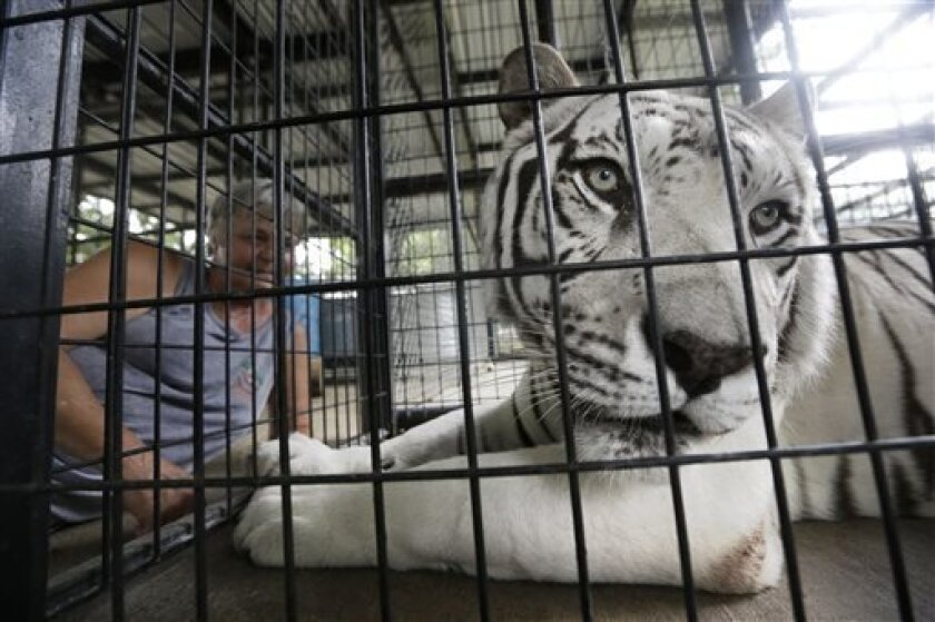 In this Thursday, July 25, 2013 photo, Kazuri, a 10-year-old male Bengal tiger suffering from distemper, is calmed in a pen before a blood draw at the In-Sync Exotics Wildlife Rescue and Education Center in Wylie, Texas. The center's spokeswoman Lisa Williams said Kazuri died Sunday, Aug. 11, 2013. Canine distemper, a very rare disease to strike felines, has killed and sickened several big cats at the well respected animal sanctuary. (AP Photo/LM Otero)