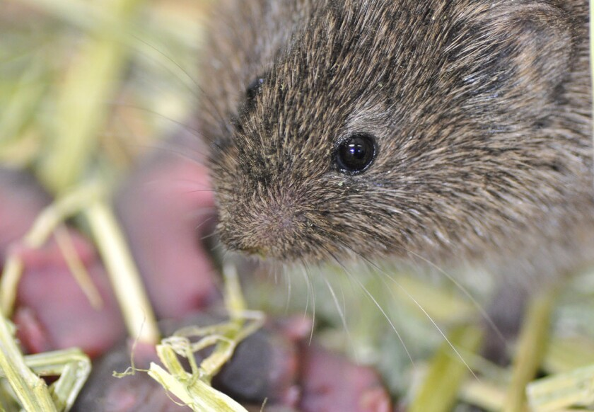 The secrets of vole fidelity