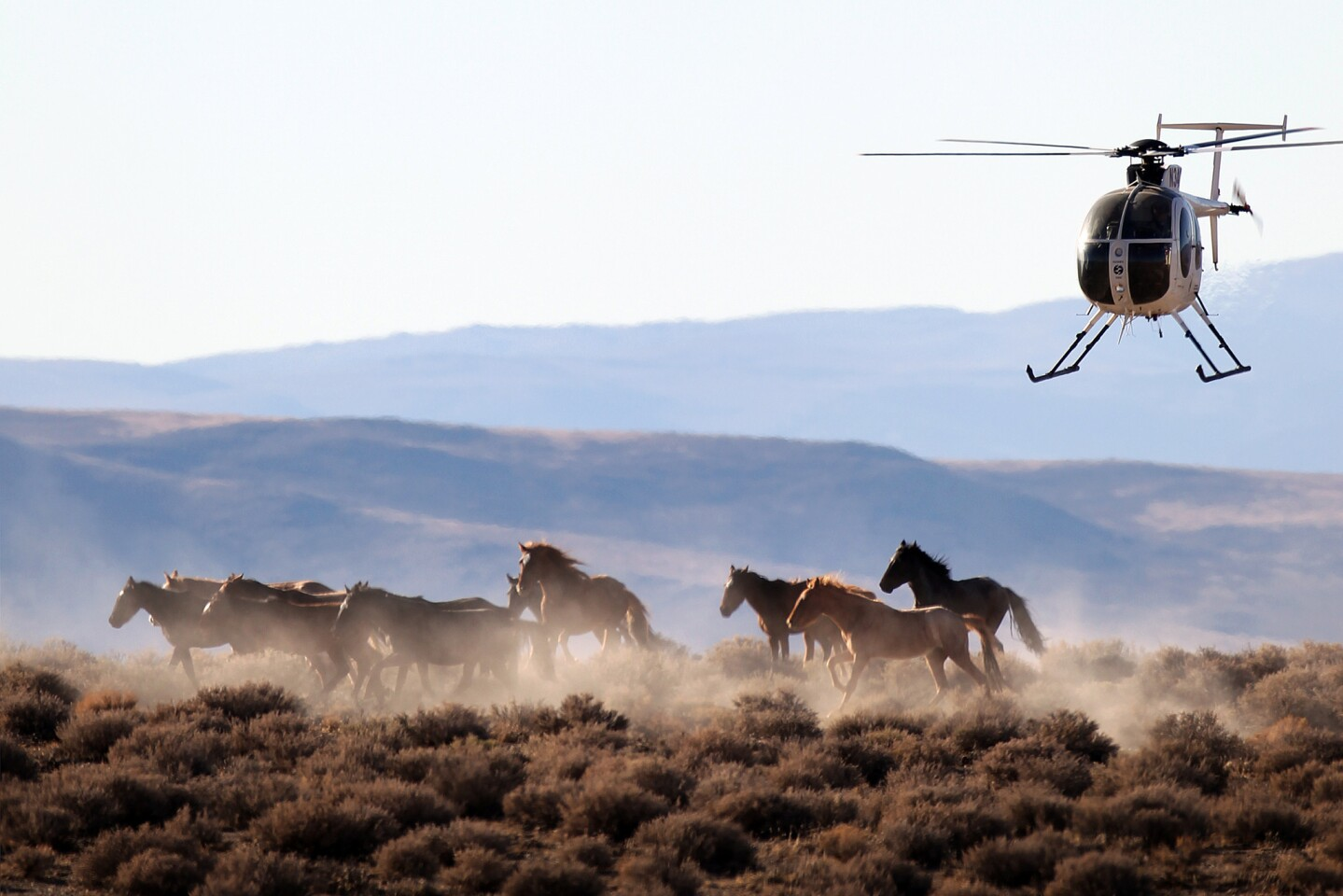 Wild mustangs are herded by helicopter into temporary corrals before they are hauled in trailers from public rangeland. They are then auctioned off or sent to live in government-funded holding areas.