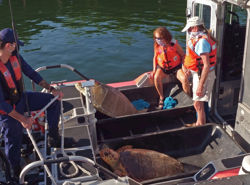 Staff members from Turtle Hospital keep an eye an Emma, foreground, and Bubbles before their release.