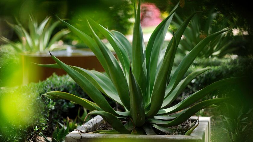 Drought-tolerant agaves.