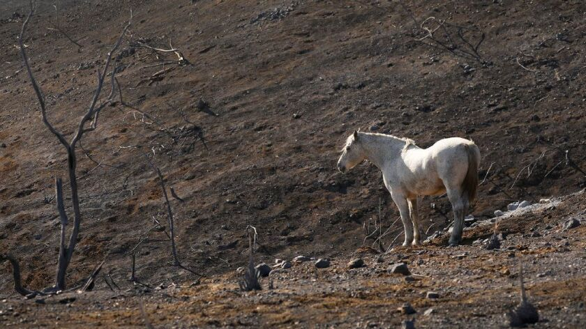 A lone horse amid the charred landscape along Mulholland Highway in Agoura Hills on Nov. 12.