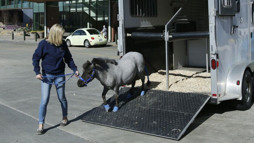 In this Tuesday, May 1, 2018 photo, Willie Nelson, a miniature horse, is taken out of the horse trai