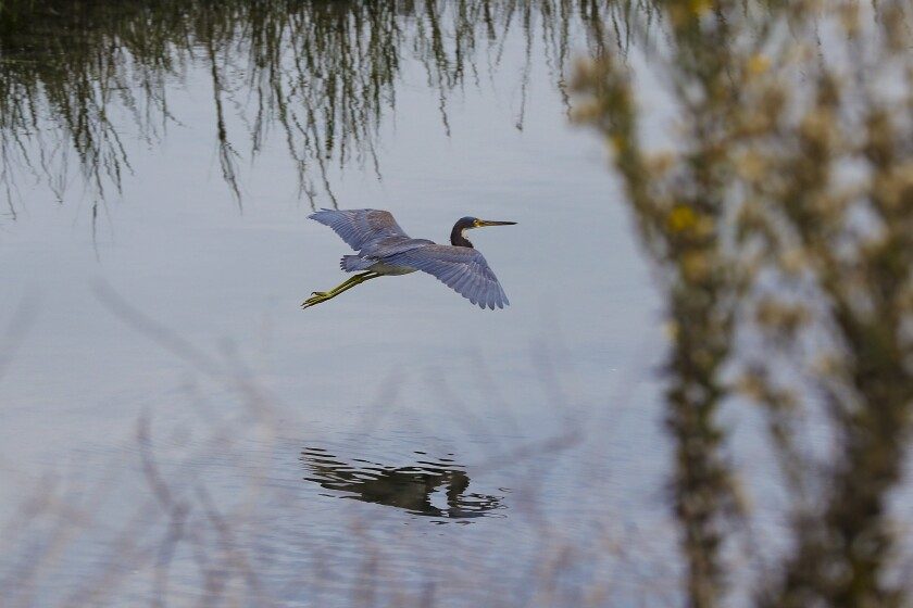 B.J. Stacey points out a tricolored heron flying low near Smiley Lagoon in Ocean Beach.