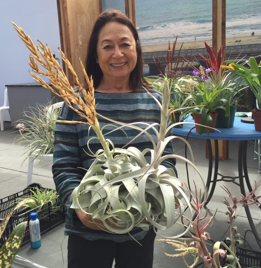 Horticulturalist Pamela Koide-Hyatt holds a Tillandsia xerographica plant after giving a talk at the San Diego County Fair.