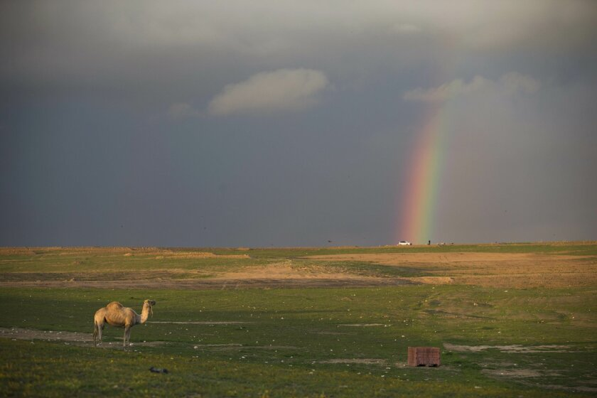 FILE - In this Wednesday, Feb. 10, 2016 file photo, a camel stands in an open field as rainbow appears in a cloudy sky over the southern Israeli Beduin village of Rahat. (AP Photo/Oded Balilty, File)