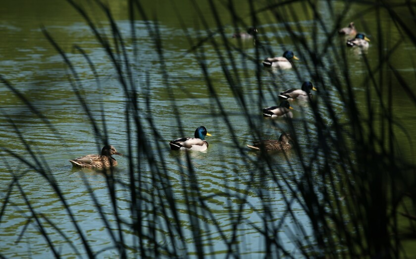 Ducks glide along Horseshoe Lake, at the starting point of the walk at El Dorado East Regional Park in Long Beach.