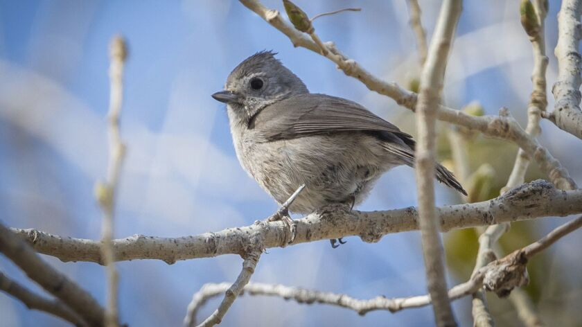 The oak titmouse is a tiny bird, weighing only about half an ounce.