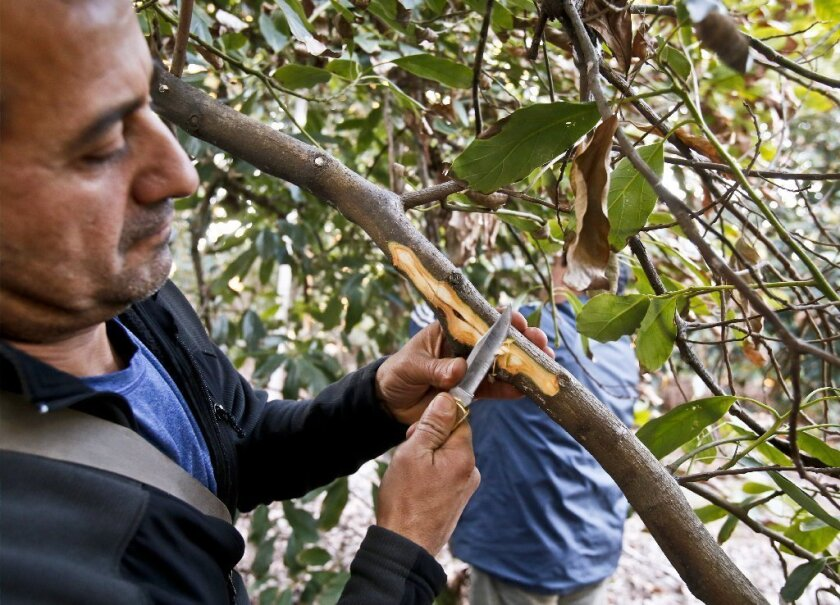 University of California Riverside plant pathologist Dr. Akif Eskalen cuts back bark to show where a shot hole borer beetle has damaged a branch of an avocado tree at a grove in Bonsall. / photo by Don Boomer * U-T