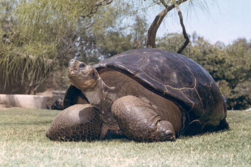 Legendary tortoise dies at San Diego Zoo - The San Diego