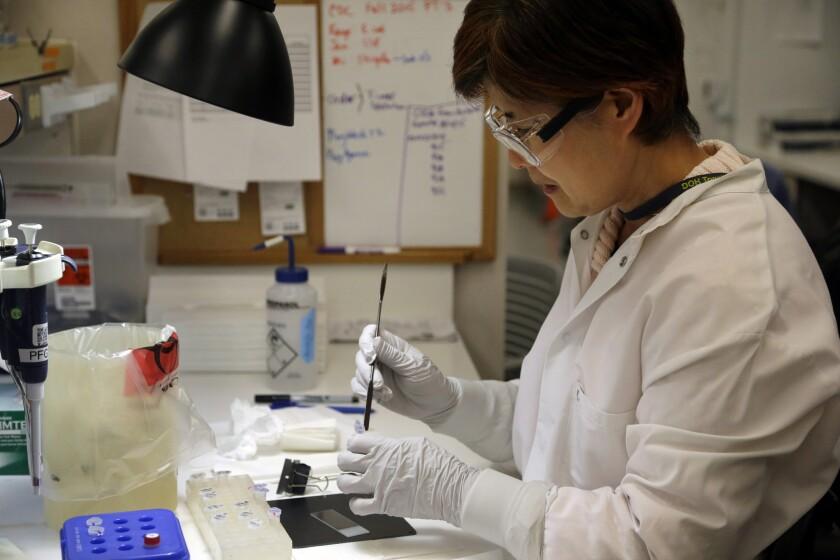 La microbióloga Mi Kang intenta identificar una cepa de E.coli en un laboratorio del Departamento de Salud del estado de Washington en Shoreline el 3 de noviembre del 2015. El noroteste de Estados Unidos ha sido afectado por un brote de E.coli que se cree se originó en la cadena de restaurantes Chipotle, la cual cerró 43 locales mientras las autoridades tratan de determinar el origen del brote. (AP Photo/Elaine Thompson)
