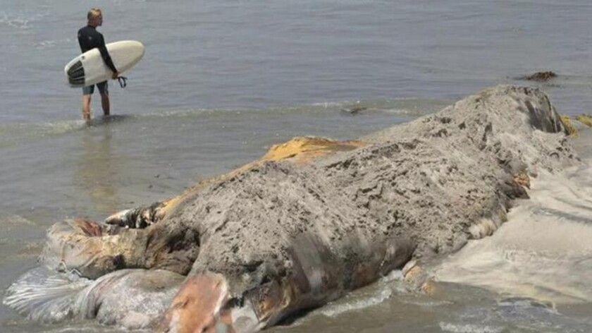A decomposing whale carcass found in Encinitas in San Diego County is likely of Wally the humpback, a familiar sight along the coast of Orange and Los Angeles counties.