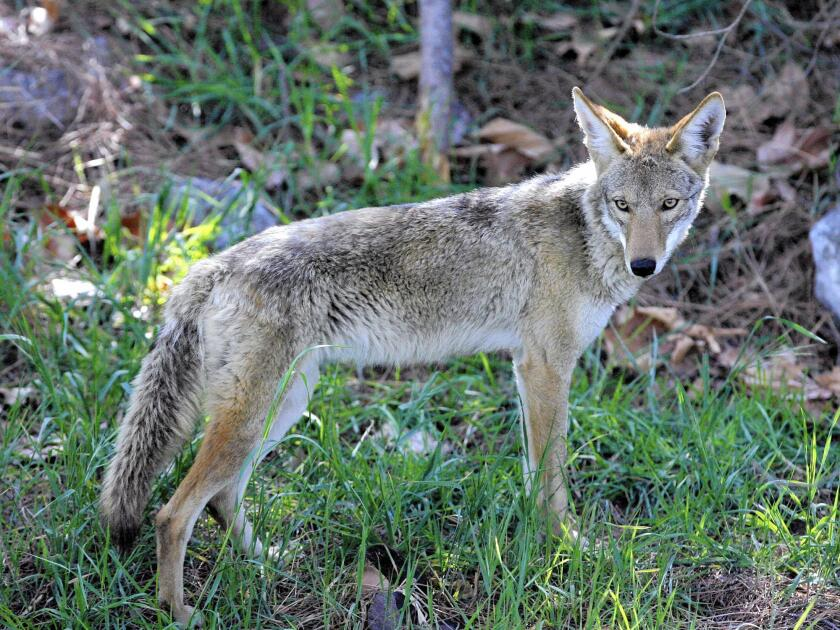 Fountain Valley's Coyote Management Plan emphasizes coexistence with urban coyotes and offers tips for preventing them from becoming problems. A chart includes color-coded threat level s.