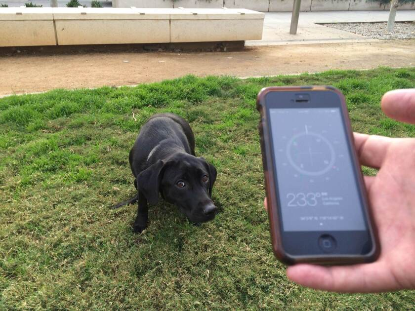 Downtown Los Angeles resident Garet Ammerman's dog Miya takes care of business while Times reporter Geoffrey Mohan holds up a compass. A new study finds that dogs prefer to align on the north-south axis when defecating.