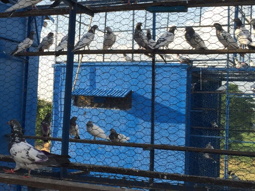 Pakistani racing pigeons are fed nuts, grains and sometimes steroids to help them fly longer.
