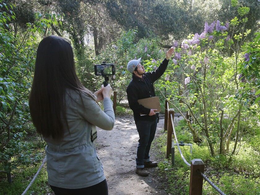 Descanso Gardens' public relations marketing coordinator Shannon Dillon captures records coordinator Roy Jenkins leading a virtual tour video of lilacs at the botanical showplace on Thursday, March 25.
