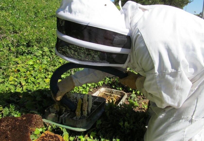 A beekeeper rescues honeybees from a water meter box.
