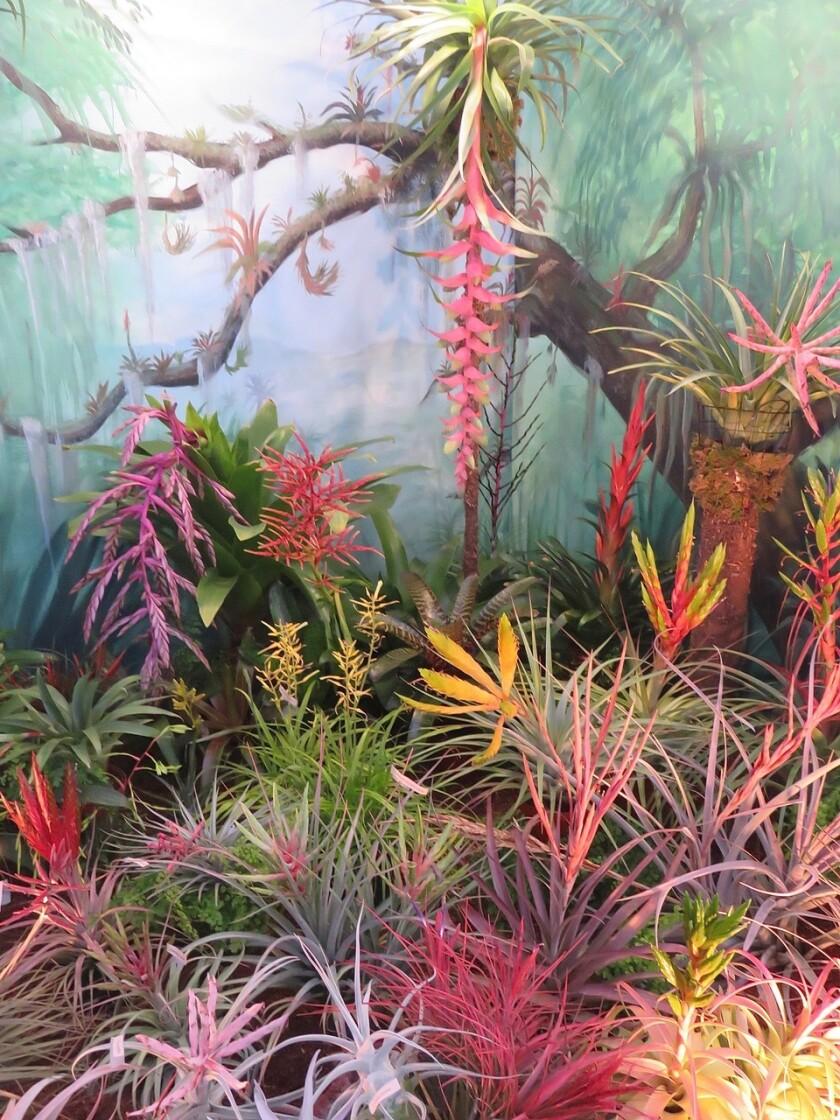 Colorful bromeliads of pinkish to yellowish tones sprawled across a lush green room.
