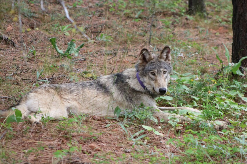 A collared wolf lies down in the woods