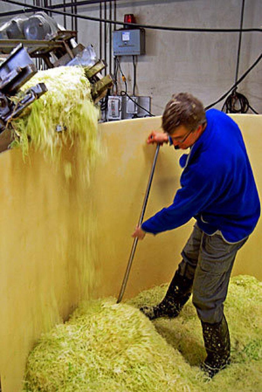 Carl Kruegermann rakes cabbage in the shredder bin.