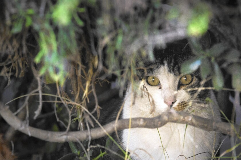 Officials are pushing a change in the L.A. city code to encourage Angelenos to adopt more cats and help reduce the number of animals being euthanized Above, a stray cat in Venice in 2012.