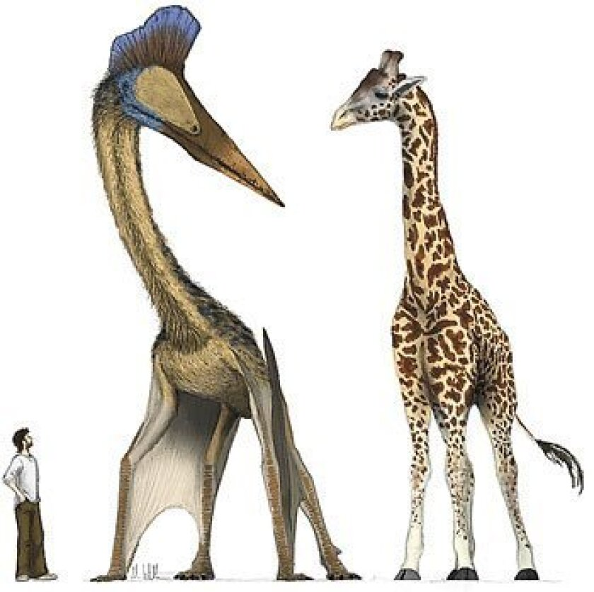 An artist's rendering shows Hatzegopteryx compared with a human and a giraffe. A study looks at how huge pterosaurs may have gotten off the ground. (Mark Witton)