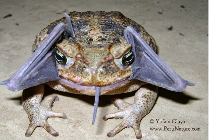 The incredible bat eared toad
