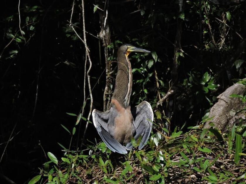 """MEX56. SONTECOMAPAN (MÉXICO),15/02/2018.- Fotografía cedida por el autor fechada el 14 de diciembre de 2017 que muestra un ejemplar de Garza Tigre Mexicana (Tirgrisoma mexicanum) en la Laguna de Sontecomapan, Veracruz (México). Miles de personas en todo el mundo participarán este año en la iniciativa internacional """"Conteo de aves en tu comunidad"""", en la que la ciudadanía aporta información que contribuye al conocimiento de estos animales, informó hoy la Comisión para el Conocimiento y Uso de la Biodiversidad de México. EFE/José Rafael Calderón Parra/SOLO USO EDITORIAL"""