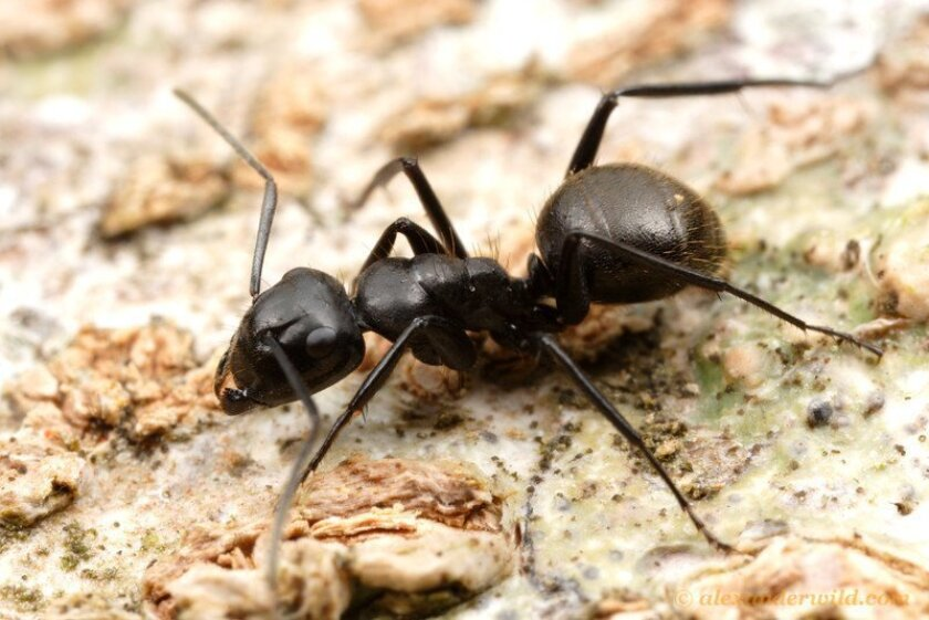 Carpenter ant / photo by Alex Wild * myrmecos.net