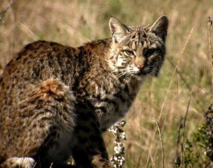 Bobcats prey on game birds such as wild turkeys, quail and doves and presently are trapped and hunted in California.