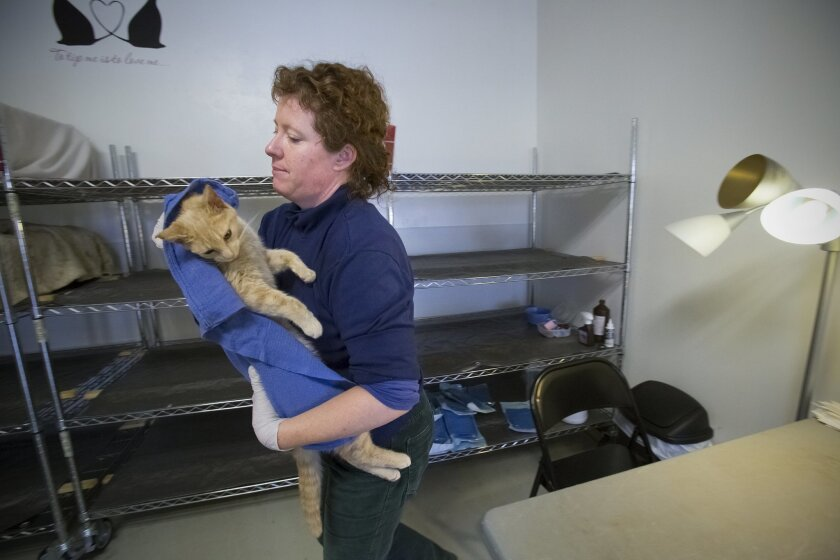 After the cats leave the operating room at the El Cajon spay and neuter clinic for feral cats, volunteers like Jane Truman checked for fleas, then groomed and monitor the cats as they recover from the surgery.