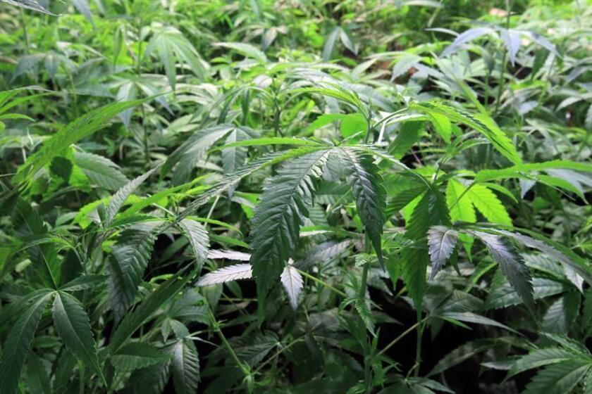 Fotografía que muestra una planta de marihuana. EFE/Archivo