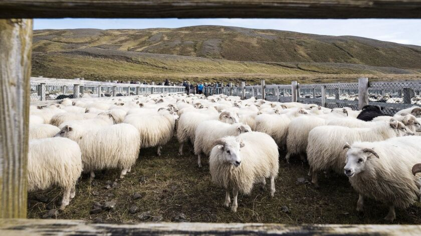 4Iceland, Mælifellsrétt - September 10th 2017: After being sorted, sheep wait in the holding pen of