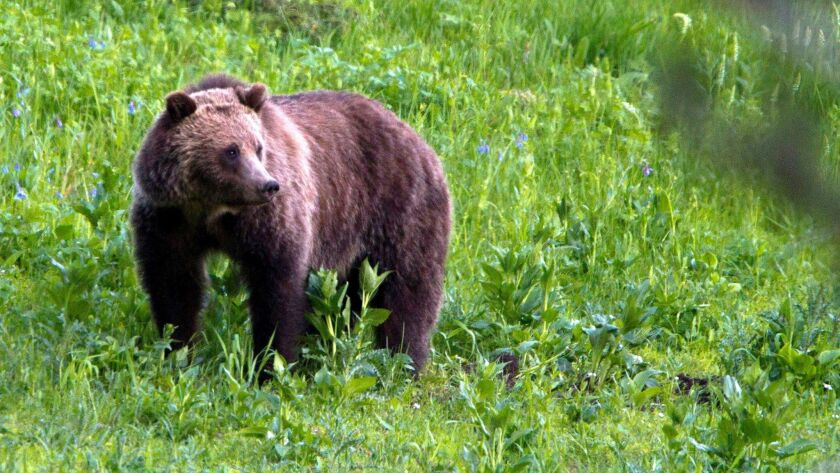 A grizzly bear in Yellowstone National Park.