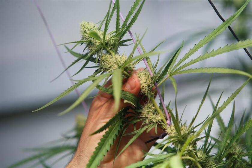 A partir de la medianoche de hoy, Canadá se convertirá en el primer país industrializado y el segundo del mundo, tras Uruguay, en legalizar el consumo recreativo del cannabis, que será comercializado con un precio medio de 7,7 dólares estadounidenses por gramo. EFE/Archivo