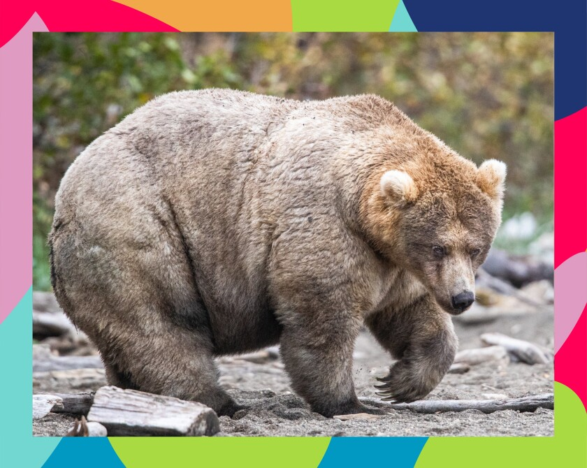 Holly, voted the fattest bear on Alaska's Katmai National Park and Preserve last year. CREDIT: National Park Service