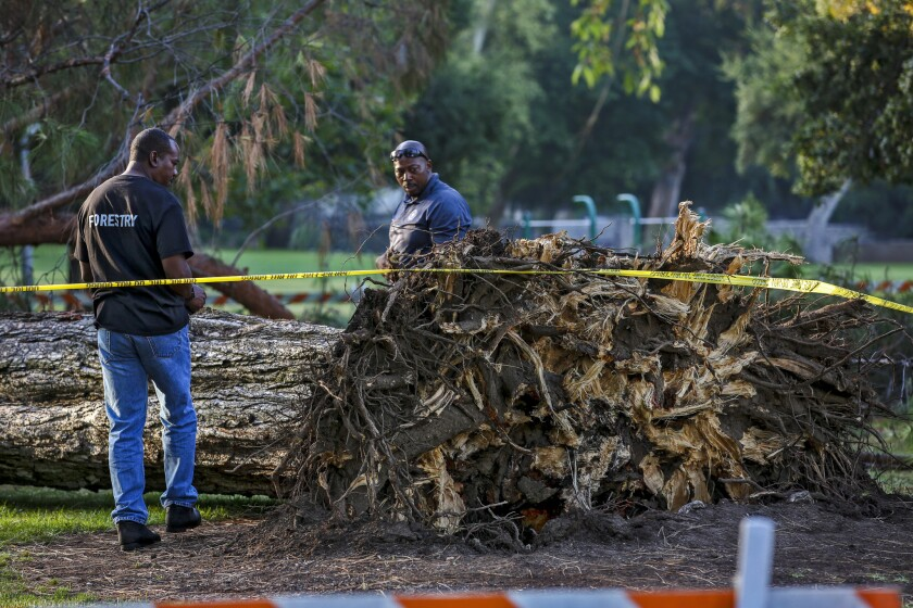 Two arborists from the city of Pasadena try to examine the tree that fell near the Kidspace Children's Museum, trapping 33 children beneath its branches.