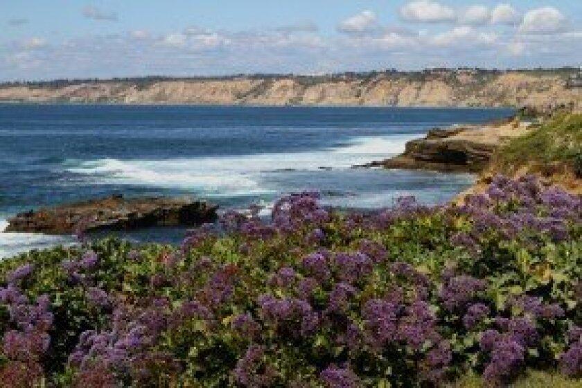 Statice (sea lavender) growing along La Jolla's coastal bluffs. Photos by Kelly Stewart