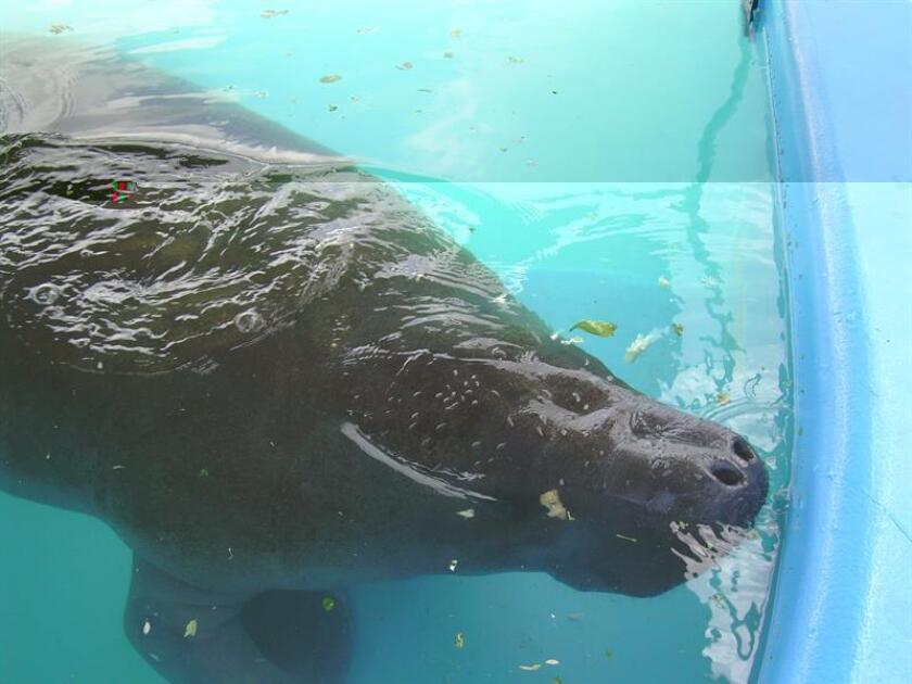 Noventa y ocho manatíes murieron este año en aguas de las costas de Florida por accidentes con embarcaciones, lo que supone un nuevo récord, señaló hoy la Comisión para la Conservación de la Fauna y la Pesca (FWC). EFE/ARCHIVO