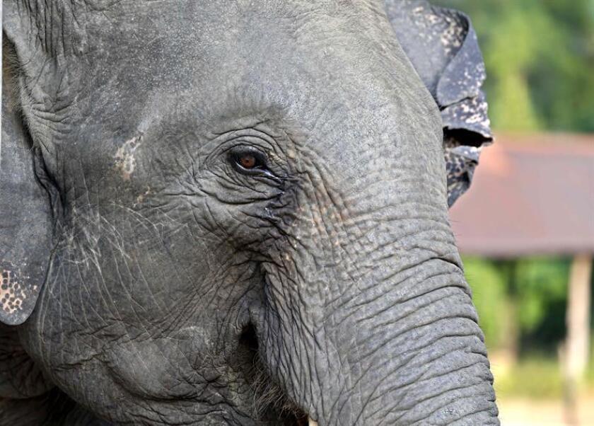 Un tribunal de apelaciones federal de Estados Unidos dictaminó hoy que el Gobierno de Barack Obama cayó en incorrecciones al imponer la prohibición de importar trofeos de elefantes procedentes de Zimbabue. EFE/EPA/ARCHIVO