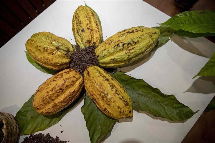 Varias frutas de cacao se exponen hoy 30 de noviembre de 2018, durante el primer Festival de Chocolate, en Managua (Nicaragua). EFE