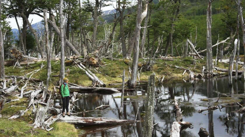 Melissa Carmody, Karukinka Natural Park manager, looks at damage caused by beaver dams in the lenga forest.