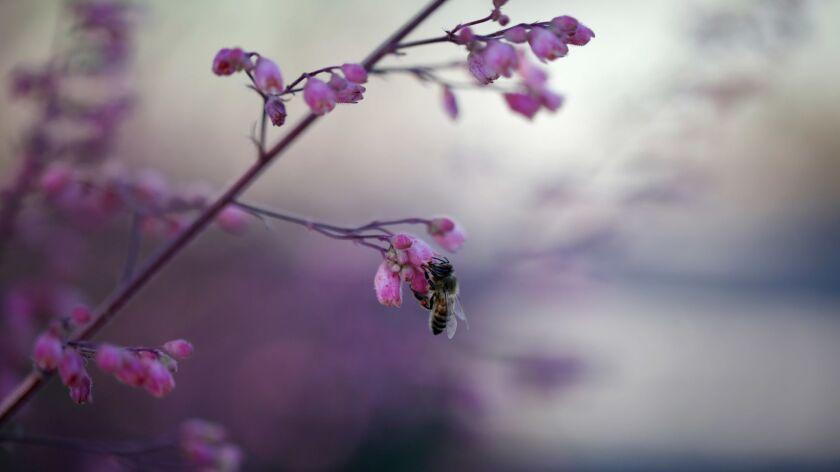 NORTHRIDGE, CA-March 28, 2018: Berberis quifolium, or Oregon Grape, in the naturalistic meadow that